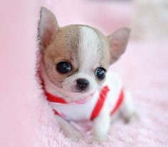 Little chihuahua