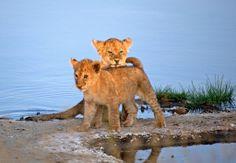 cute lion cubs in Kenya