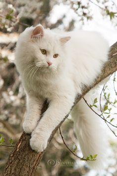 White Kittens, Cute Cats And Kittens, Ragdoll Kittens, Tabby Cats, Funny Kittens, Bengal Cats, Adorable Kittens, Kitty Cats, Kitten Costumes