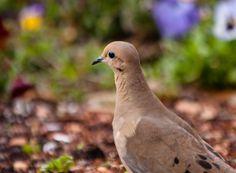 Pretty dove at the Dallas Arboretum.