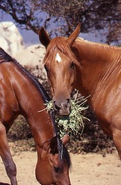 The facts about sand colic in horses, by the Editors of EQUUS Magazine.