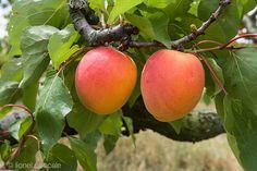 Abricots de la Drôme