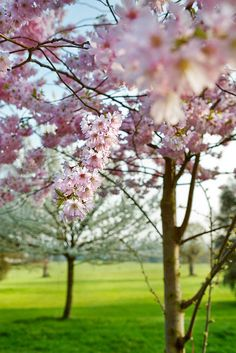 cherry blossoms, Broomfield Park, north London, England