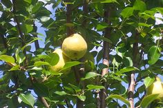 How To: Growing Pear Trees In Pots And Containers