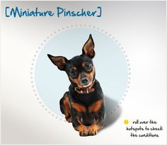 Did you know that, although the Miniature Pinscher resembles a smaller version of the Doberman Pinscher, he is is actually a mix of Dachshund and Italian Greyhound? Read more about this breed by visiting Petplan pet insurance's Condition Checker!