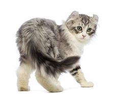 A cat chasing his tail might look silly, but should you ever worry about it? Here's what to know — and what to do — about cat tail-chasing behaviors. Pretty Cats, Beautiful Cats, Cute Cats, American Curl Kittens, All Animals Photos, Cat Races, Cat Reference, Character Reference, Cat Body