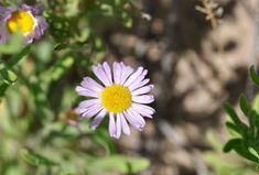 Kansas Wildflowers and Grasses - Western fleabane