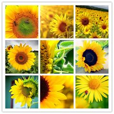 Heard that every one who love sunflower, can bring people warm, because they live in the sunshine