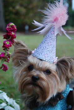 yorkie party hat..Need to MAKE  blue one for my baby....aug. 27 is the day I saw him for the first time...