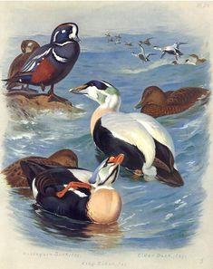 Ducks - Harlequin, Eider