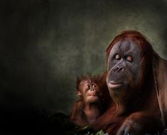 97% Human : A mother orangutan holds her baby. Taken at Melbourne Zoo, Australia by Arthur Xanthopoulos. http://www.damagedphotography.com/