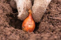 Sadenie mrkvy, hrachu, fazuľe, cibule či kalerábu – kedy a ako Growing Onions, Growing Seeds, Growing Vegetables, Planting Onions, Fall Plants, Garden Plants, Gardening For Beginners, Gardening Tips, Compost
