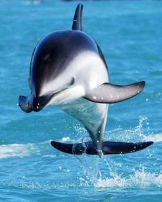 Dusky Dolphin...love the ocean...feeling free...no screaming folks-loud machines if I were in captivity, to entertain...though swimming near The Cove is my feared reality...it's a bloody red sea...we are aphrodisiacs...please, get educated about that, act...