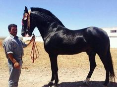 Barb (Berber) horse - ancestor of all baroque horse breeds as well as quarter horse and thoroughbred.