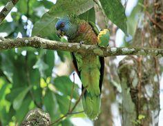 St. lucia Parrot- Amazon Versicolor