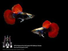 AquaBid.com - Archived Auction # fwguppies1544695125 - ATFG's Platinum Fire Tail Tuxedo HM Dumbo Pair - Ended: Thu Dec 13 03:58:45 2018 Best Aquarium Fish, Tropical Fish Aquarium, Freshwater Aquarium Fish, Pretty Fish, Cool Fish, Beautiful Fish, Guppy, Dumbo Ears, Betta