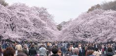 Sakura viewing crowds Ueno Park Tokyo [OC] [3500x1700]