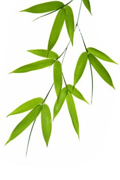Bamboo Leaves Trailing in the Breeze.