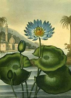"The Blue Egyptian Water Lilly by the English physician and botanical writer Robert John Thornton is one of the spectacular illustrations from the ""Temple of Flora"" This book is considered to be the greatest of all flower booksYour print/. Illustration Botanique Vintage, Botanical Illustration, Illustration Art, Art Prints For Sale, Fine Art Prints, Impressions Botaniques, Egyptian Art, Water Lilies, Botanical Prints"