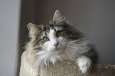 Norwegian Forest - the perfect cat ever