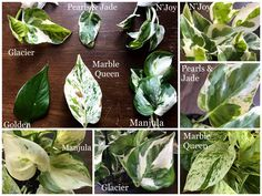 Variegated Pothos varieties Variegated Pothos varieties leaves compared side by side and also with c Pothos Plant Care, Indoor Gardening Supplies, Plant Identification, Variegated Plants, Tropical Plants, Hanging Plants, Plant Decor, Houseplants, Beautiful Gardens