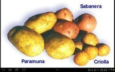 Sabanera pastusa criolla papas colombianas.
