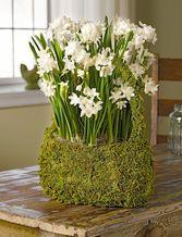 Paperwhite Bulb Garden