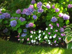 Hydrangea Blooms in mixed bloom colors, impatiens, and hostas work well together in this shade garden...