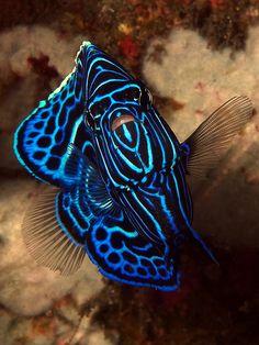 Juvenile emperor angelfish / Tulamben, Bali