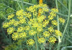 Dill – Stronger in flavour than the leaves, the flowers of dill (Anethum graveolens) can be used when cooking fish, or raw in salads. They are very small, yellow, and borne on tall umbels. Best used when they have just opened, as they set seed quickly.