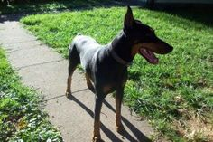 The Elka Almanac: Athena and Boss, in Southwest Ohio Doberman Rescue