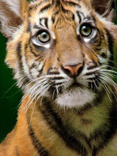 """""""Oh my word!  Just WHAT is that coming towards me?""""                                         Sumatran Tiger Cub."""
