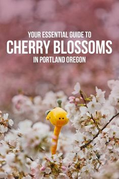Your Essential Guide to Seeing Cherry Blossoms in Portland OR // Local Adventurer Oregon Vacation, Oregon Travel, Vacation Trips, Travel Usa, Vacations, Travel Tips, Las Vegas World, Portland Japanese Garden, Visit Oregon