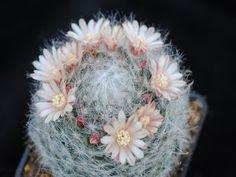 Photograph of Mammillaria, bocasana