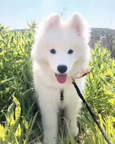 Dog Wallpaper, Dog Wallpaper for iPhone, Dogs Wallpaper, Lovely Fluffy Dog Samoyed Dogs, Pet Dogs, Cute Puppies, Dogs And Puppies, Adorable Dogs, Dog Shots, Up Dog, Dog Wallpaper, Fluffy Dogs