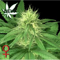 Buy best Cannabis Seeds and Marijuana Seeds by DrGreenStore Hemp, Greenery, Mary
