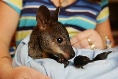 Wallabie What is it? Similar to a kangaroo, but smaller. Where is it from? Australia. Where is it legal to own? Varies from state to state, but definitely requires a permit.