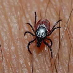 Keeping bugs, pests, and insects away can be a challenge. But it can be easily achieved by using some plants. Here is a brief overview of plants that insects, bugs, and pests hate. Get Rid Of Ticks, Remove Ticks, Natural Tick Repellent, Tick Repellant, Insect Repellent, Bugs, Garden Pests, Pest Control, Home Remedies