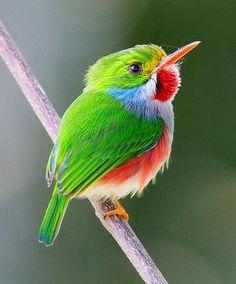 Cuban Tody....My new favorite bird!: