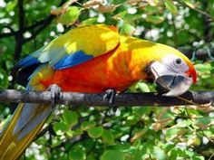 Camelot Macaws are among the most colorful of the Macaws. Their beautiful red…