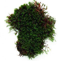 hair cap moss (polytrichum commune)-prefers medium shade to part sun, likes sandy acid soil.