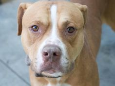 Adoptable Dog: Rascal - Pit Bull Terrier (Las Vegas, NV) #pets #animals…