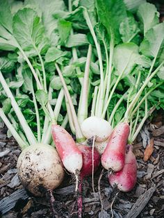 How well do you know radishes, the ideal starter vegetable for new gardeners? Learn the differences between winter, spring and summer radishes from Linda at the Garden Betty blog. || @gardenbetty