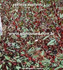 PLantas de hibisco chá - Pesquisa Google