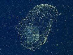 'Mythical' Sea Blob Finally Spotted a Century After Its Discovery. The translucent, sea-dwelling invertebrate, called Bathochordaeus charon, was identified recently off the coast of Monterey, California, by scientists using a remotely operated vehicle (ROV).