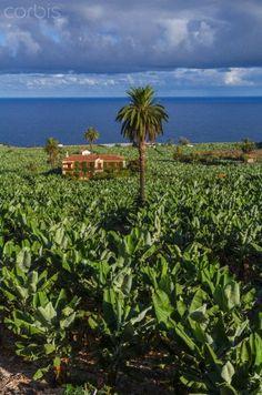 Plantación de plataneras en Icod de los Vinos, Tenerife, Islas  Canarias España