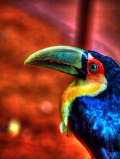 Tucano - Parque das Aves - Iguaçu -- Parana, Brazil