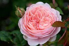 queen of sweden rose - Google Търсене
