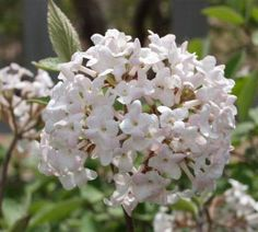 You are buying 1 Juddi Viburnum in a pot in height and these will reach in height at maturity. Juddi is the most fragrant of the viburnum family. Beautiful early spring blossoms April-May, in fall the leaves turn to a dark purple. Spring Blossom, Early Spring, Garden Landscaping, Landscaping Ideas, Garden Plants, Shrubs, Pink Flowers, Beautiful, Gardening