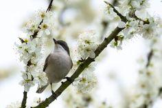 Grauschnäpper im Pflaumenbaum - Spotted Flycatcher in a plum tree